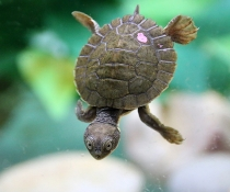 Bellinger River snapping turtle (Myuchelys georgesi) hatchling