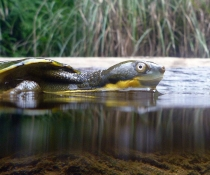 Bellinger River snapping turtle (Myuchelys georgesi)