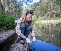 Back to the wild for a rare Bellinger River snapping turtle (Myuchelys georgesi)