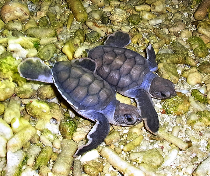 Green sea turtle (Chelonia mydas) hatchlings, one hour old