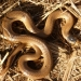 Little whip snake (Suta flagellum), threatened species