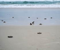 Loggerhead turtle (Caretta caretta) hatchlings making their way to the ocean