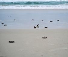 Loggerhead turtle (Caretta caretta) hatchlings making their way to the ocean