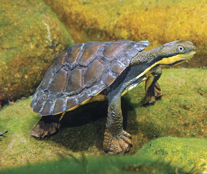 Manning River helmeted turtle (Myuchelys purvisi)