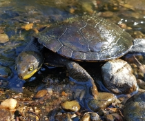 Manning River helmeted turtle (Myuchelys purvisi), Rowleys River