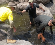 Aussie Ark, NPWS and SOS search for Manning River turtles in drying pool