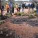 Inspecting a malleefowl mound on-country
