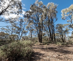 Brigalow community at Brigalow State Conservation Area, 2019