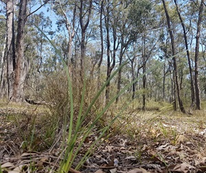 A grounded perspective of Cumberland Plain Woodland at Scheyville National Park.