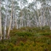 Heathland and spotted gums (Corymbia maculata)