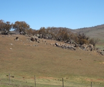 Monaro Tableland Cool Temperate Grassy Woodland