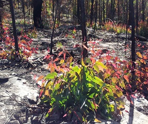 Regenerating Eucalypt woodland following bushfires in the Blue Mountains