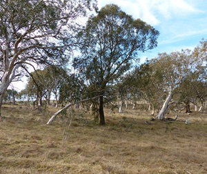 Tablelands Snow Gum, Black Sallee, Candlebark and Ribbon Gum Grassy Woodland in the South Eastern Highlands, Sydney Basin, South East Corner and NSW South Western Slopes Bioregions, Threatened Ecological Community