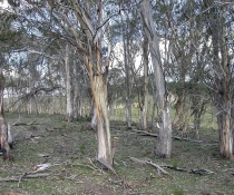 Werriwa Tablelands Cool Temperate Grassy Woodland
