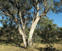 White Box Yellow Box Blakely's Red Gum Woodland, Brown Springs TSR, Threatened Ecological Community