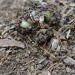 Eastern Australian underground orchid (Rhizanthella slateria) emerging from the soil