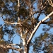 Forest red gums (Eucalyptus tereticornis)