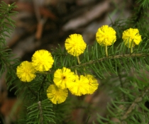 Gordon's wattle (Acacia gordonii) endangered species