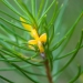North Rothbury persoonia (Persoonia pauciflora) is a critically endangered species