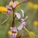 Oaklands diuris orchid