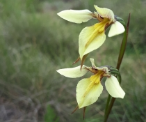 Pale golden moth (Diuris ochroma) flowers
