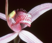 Pink spider orchid (Caladenia harringtoniae) flower