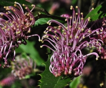 Tumut Grevillea (Grevillia wilkinsonii). Threatened species.