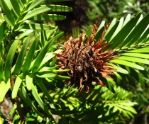 Wollemi pine (Wollemia nobilis) seeds and cones - Female cones translocation site