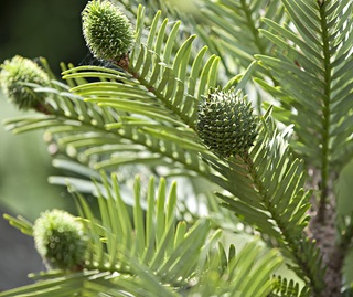 Wollemi pine (Wollemia nobilis) is one of our iconic threatened species