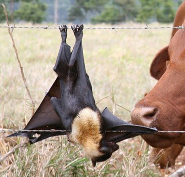 Flying-fox caught in barbed wire fence