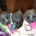 Rescued young flying-foxes feeding - Shoalhaven Bat Clinic