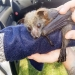 Rescued flying-fox - Shoalhaven Bat Clinic