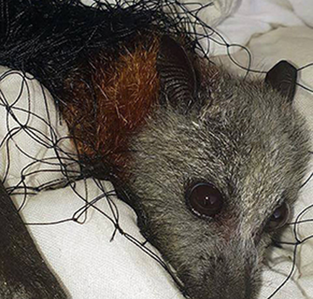 Flying-fox caught and injured in inappropriate netting