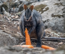 Brush-tail rock-wallaby (Petrogale penicillata) eating carrots dropped by air by NPWS