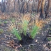 Grasses and grass tree recovering as one of the first signs of life after fire