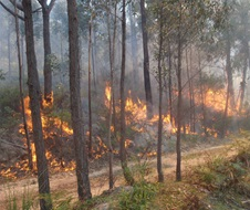 Fire trickling up hill along control line on hazard reduction burn
