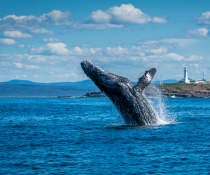 Humpback whale (Megaptera novaeangliae) breaching off Green Cape, Ben Boyd National Park