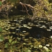 Water lilies, lily pads, wetland, Limeburners Creek National Park