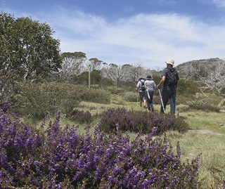 Walkers on Porcupine track with purple wildlflowers in the foreground, Perisher, Kosciuszko National Park