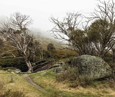 A snow gum (Eucalyptus pauciflora) stretches across the Thredbo River next to the footbridge along Dead Horse Gap Track