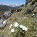 White flowers blooming on grassy mountainside with snow-capped peaks in the background, Mt Kosciuszko