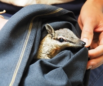 A numbat (Myrmecobius fasciatus) ready for release at Mallee Cliffs National Park