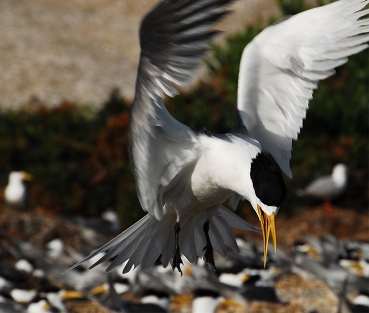 Crested terns, Montague Island Nature Reserve