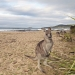 Kangaroos on the beach, Pebbly Beach, Murramarang National Park
