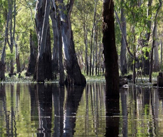 River red gums (Eucalyptus camaldulensis) reflecting in river, Murray Valley National Park