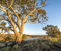 River red gums at sunset, dry sandy creek bed, desert landscape Mutawintji National Park