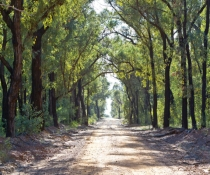 Pilliga Nature Reserve,  Eucalyptus Gum and White Cyprus Pine forest