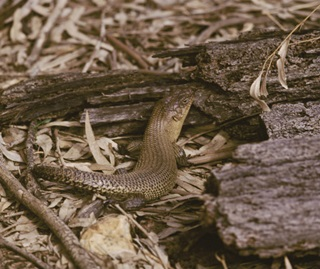 Cunninghams skink (Egernia cunninghami), protected species within national parks and nature reserves