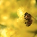 Honey bee (Apis mellifera) on wattle (Acacia)