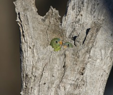 Turquoise parrots (Neophema pulchella), nesting in tree hollow